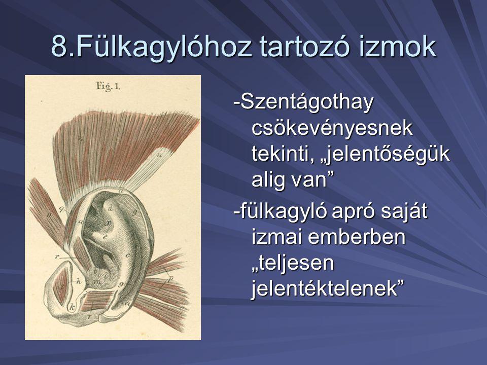 """8.Fülkagylóhoz tartozó izmok -Szentágothay csökevényesnek tekinti, """"jelentőségük alig van"""" -fülkagyló apró saját izmai emberben """"teljesen jelentéktele"""