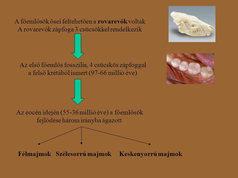 A főemlősök ősei feltehetően a rovarevők voltak A rovarevők zápfoga 3 csücsökkel rendelkezik Az első főemlős fosszília, 4 csücskös zápfoggal a felső k