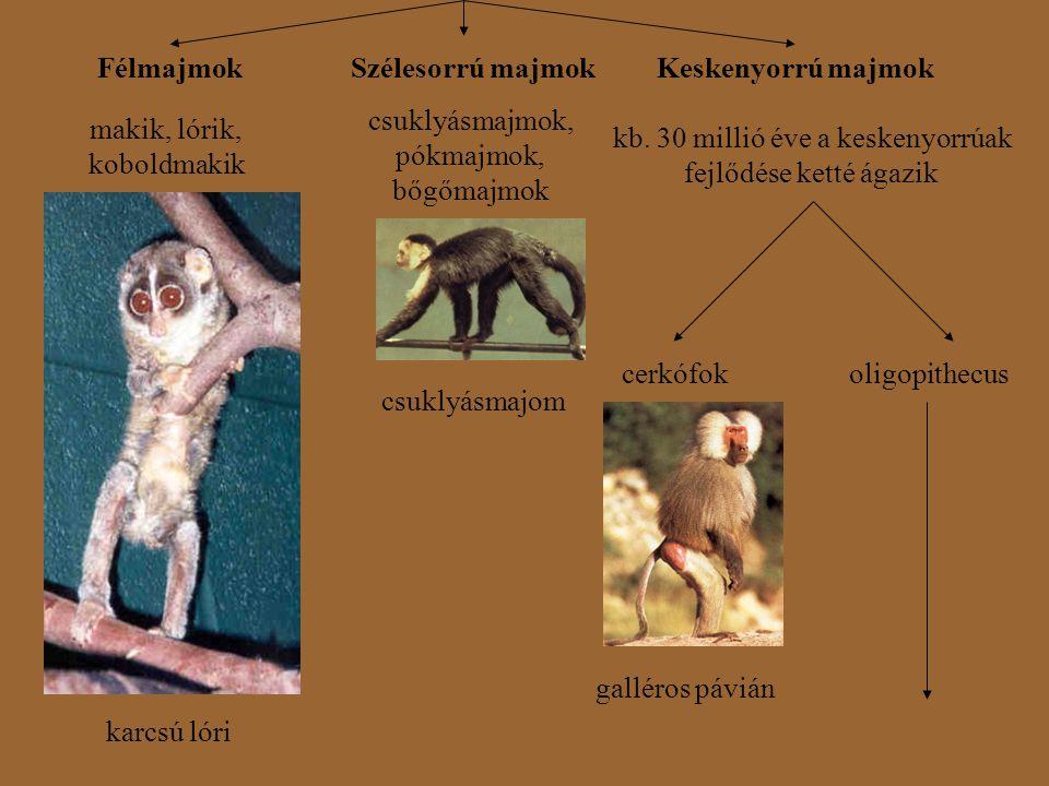 FélmajmokSzélesorrú majmokKeskenyorrú majmok makik, lórik, koboldmakik karcsú lóri csuklyásmajmok, pókmajmok, bőgőmajmok csuklyásmajom kb. 30 millió é