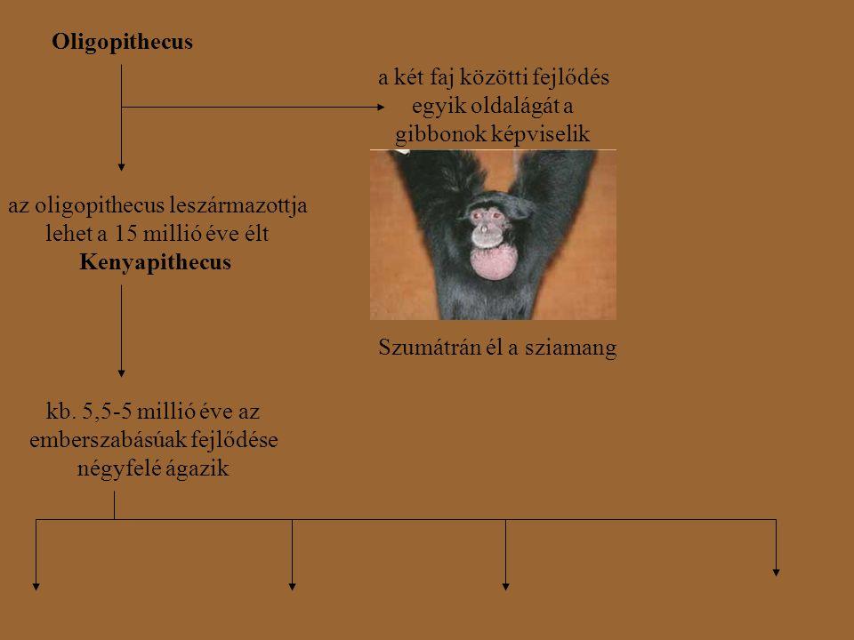 Oligopithecus az oligopithecus leszármazottja lehet a 15 millió éve élt Kenyapithecus a két faj közötti fejlődés egyik oldalágát a gibbonok képviselik