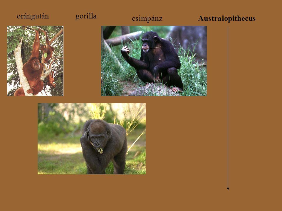 orángutángorilla csimpánzAustralopithecus