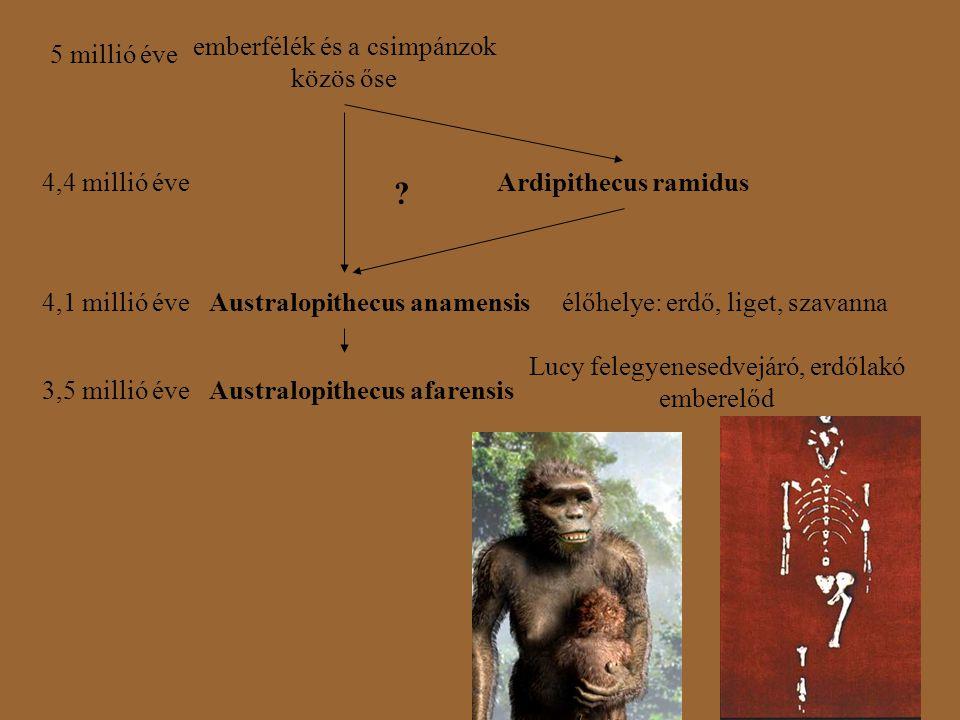 4,4 millió éveArdipithecus ramidus 5 millió éve emberfélék és a csimpánzok közös őse 4,1 millió éveAustralopithecus anamensis ? élőhelye: erdő, liget,