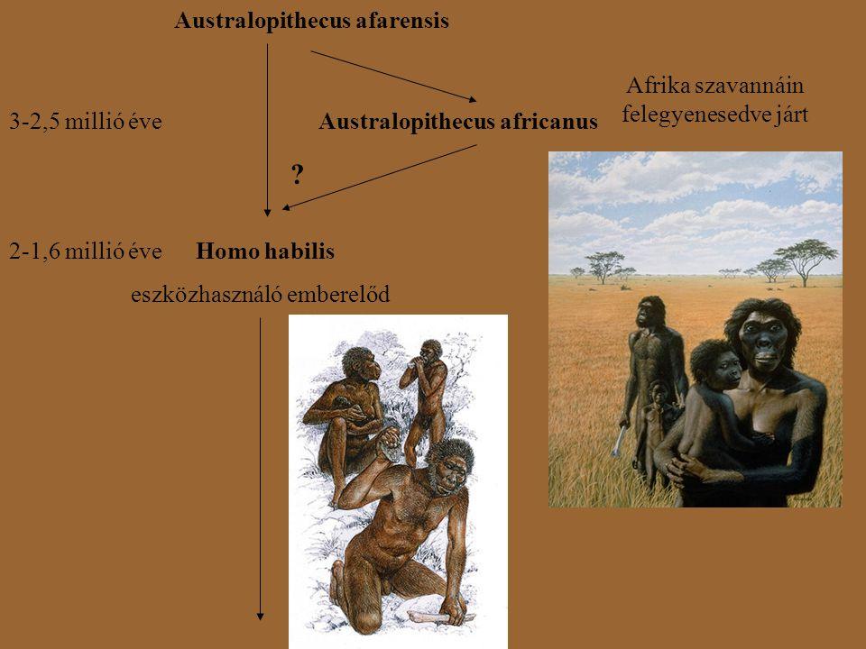 Australopithecus afarensis 3-2,5 millió éveAustralopithecus africanus Afrika szavannáin felegyenesedve járt ? Homo habilis2-1,6 millió éve eszközhaszn