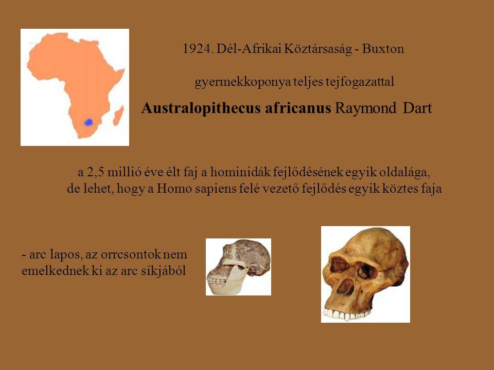 1924. Dél-Afrikai Köztársaság - Buxton gyermekkoponya teljes tejfogazattal Australopithecus africanus Raymond Dart a 2,5 millió éve élt faj a hominidá
