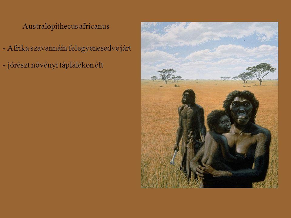 Australopithecus africanus - Afrika szavannáin felegyenesedve járt - jórészt növényi táplálékon élt