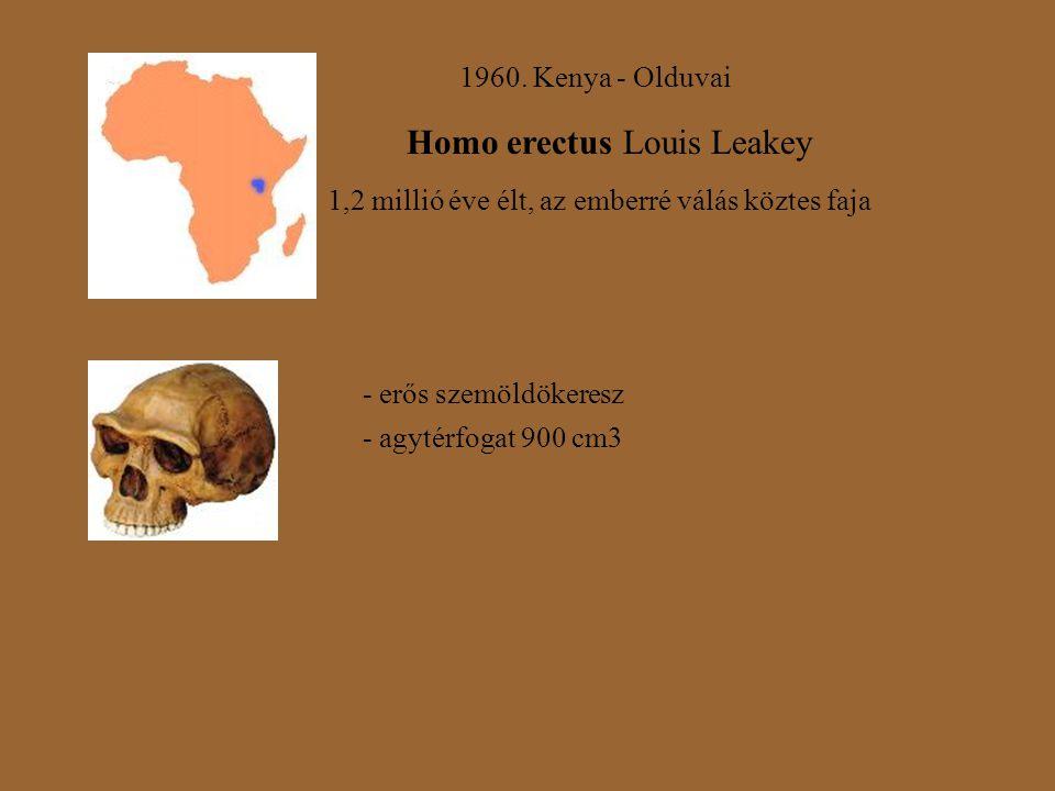 1960. Kenya - Olduvai Homo erectus Louis Leakey 1,2 millió éve élt, az emberré válás köztes faja - erős szemöldökeresz - agytérfogat 900 cm3