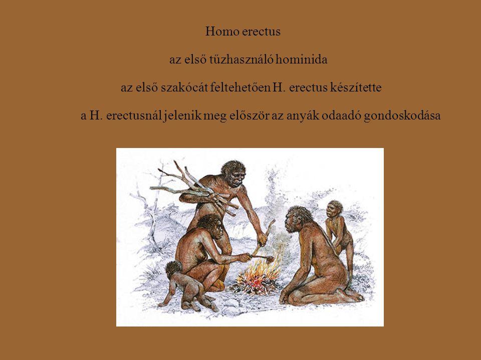 Homo erectus az első tűzhasználó hominida az első szakócát feltehetően H. erectus készítette a H. erectusnál jelenik meg először az anyák odaadó gondo
