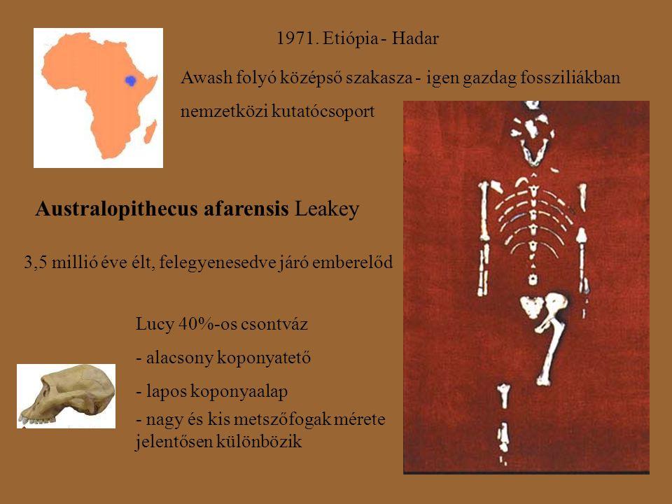 1971. Etiópia - Hadar Awash folyó középső szakasza - igen gazdag fossziliákban nemzetközi kutatócsoport Australopithecus afarensis Leakey 3,5 millió é