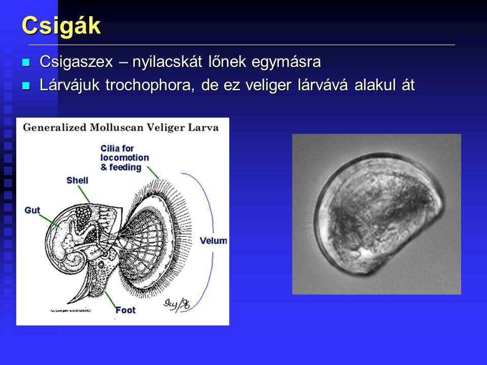 Csigák n Csigaszex – nyilacskát lőnek egymásra n Lárvájuk trochophora, de ez veliger lárvává alakul át