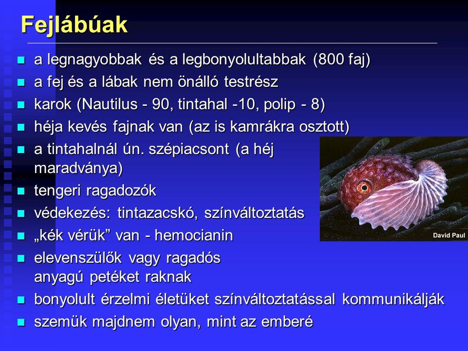 Fejlábúak n a legnagyobbak és a legbonyolultabbak (800 faj) n a fej és a lábak nem önálló testrész n karok (Nautilus - 90, tintahal -10, polip - 8) n héja kevés fajnak van (az is kamrákra osztott) n a tintahalnál ún.