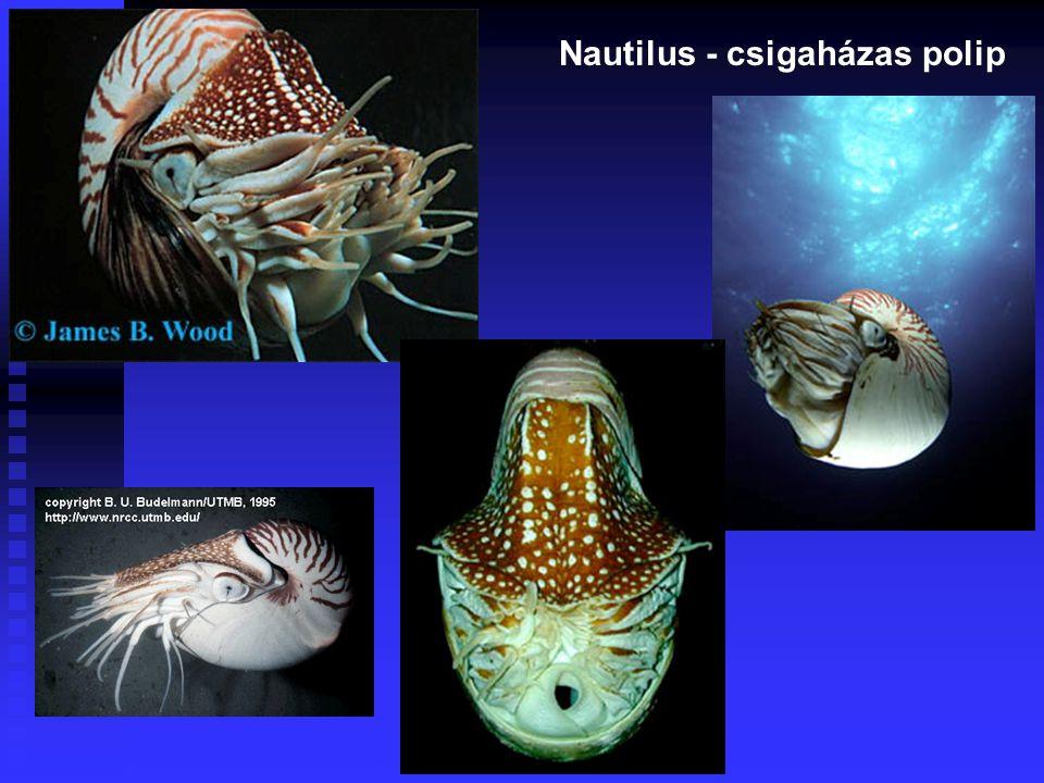 Nautilus - csigaházas polip