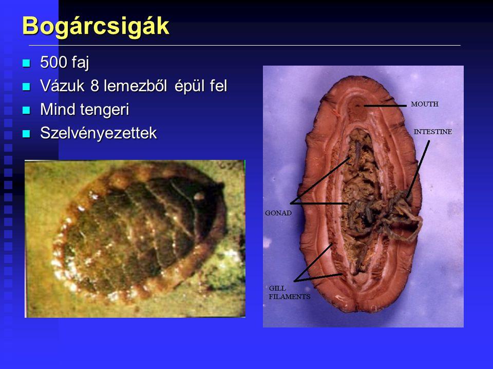 Bogárcsigák n 500 faj n Vázuk 8 lemezből épül fel n Mind tengeri n Szelvényezettek