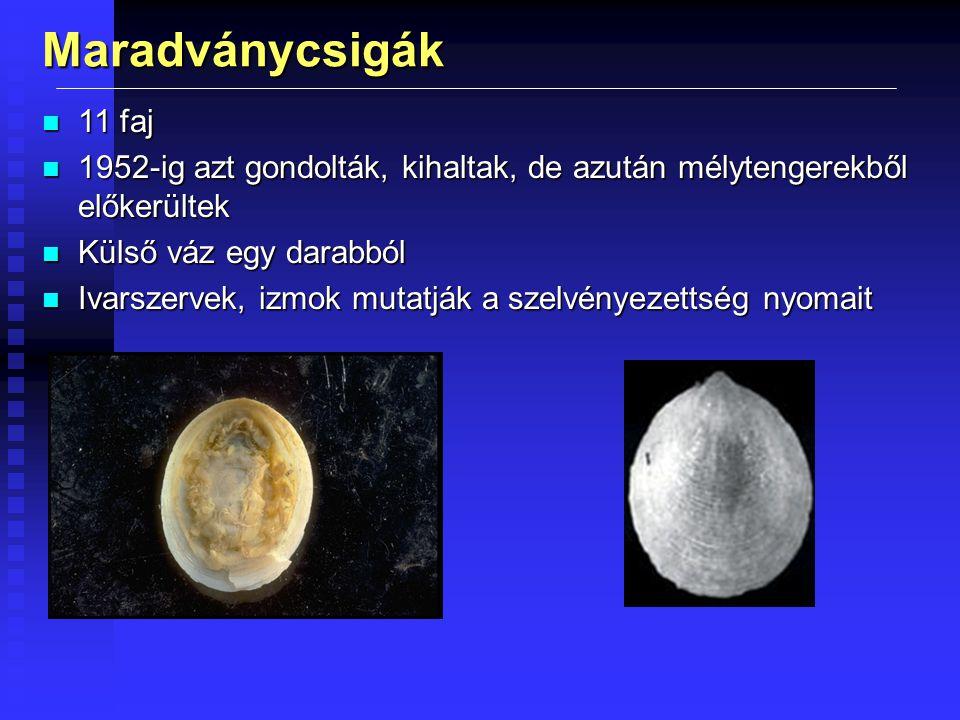 Maradványcsigák n 11 faj n 1952-ig azt gondolták, kihaltak, de azután mélytengerekből előkerültek n Külső váz egy darabból n Ivarszervek, izmok mutatják a szelvényezettség nyomait