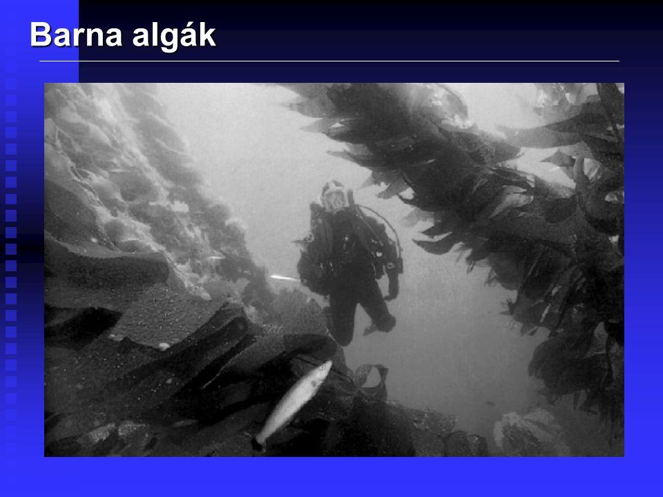 Sárgásbarna algák 1 000 faj Egysejtű Édesvízi Mozog Fakultatív heterotróf Nagyon vegyes banda