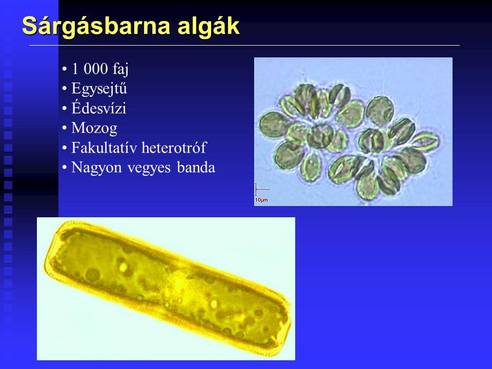Kovamoszatok 100 000 faj Főleg autotrófok Klorofill-a és c Tartalékanyag krizolaminarin Vázuk szilikát, úgy illik össze mint a petri-csésze Többnyire egysejtű Nincs ostora A Föld szervesanyag termelésének 25 % Fontos kövületek Gyönyorűek