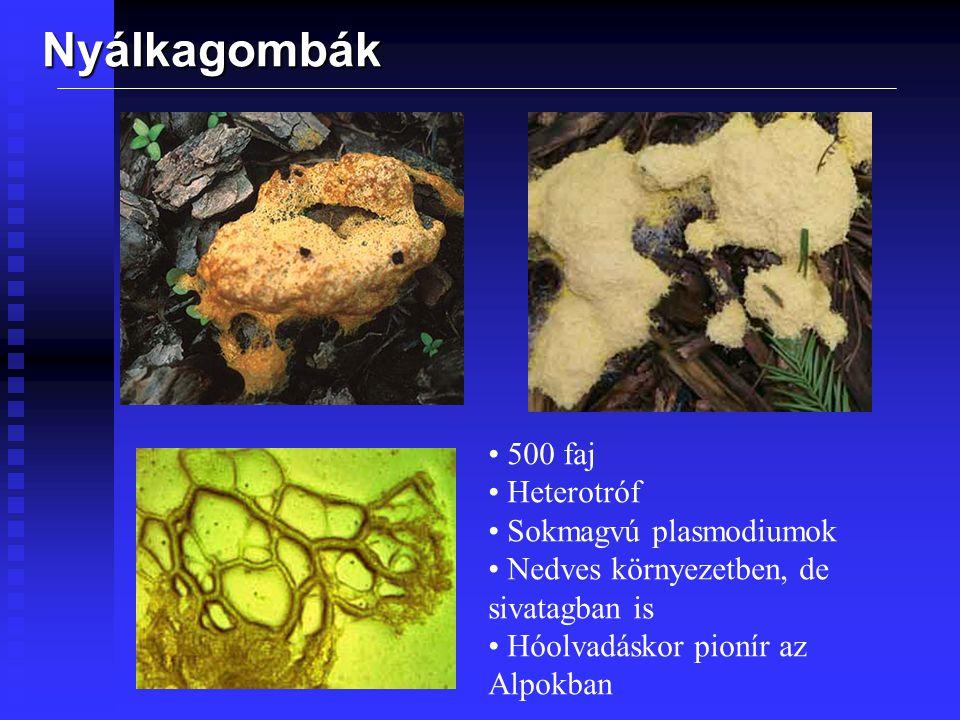 Nyálkagombák A.Spóra B.1-4 porotoplast válik ki belőle C.Ostoros vagy amőboid a környezettől függően D.Rossz körülmények közt mikrociszták E.Protoplastok összeolvadnak F.A sejtmagok is egybeolvadnak G.Sokmagvú plasmodium I.Rossz körülmények közt sclerotiummá alakul J.Plasmodium fonalak L.Termőtestek