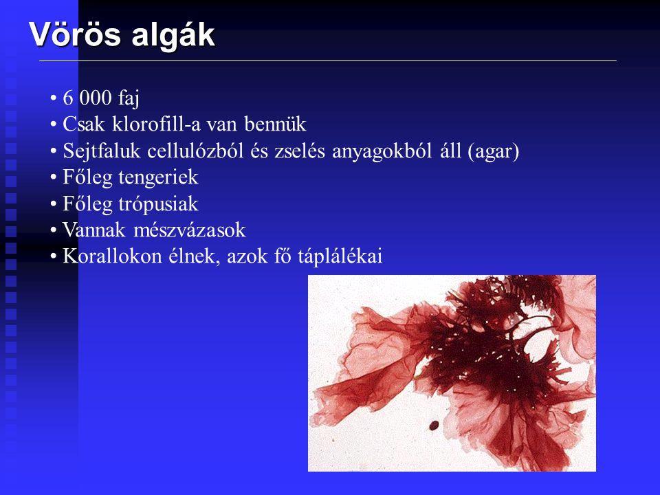 Vörös algák 6 000 faj Csak klorofill-a van bennük Sejtfaluk cellulózból és zselés anyagokból áll (agar) Főleg tengeriek Főleg trópusiak Vannak mészváz