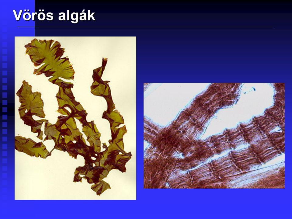 Barna algák 1 500 faj Főleg hűvösebb tengerekben Klorofill-a és c Tartalékanyaguk a laminarin Sejtfaluk cellulóz és algin A kolóniákon belül a tápanyagot szállítják Hatalmas tömegeket alkotnak (Sargasso- tenger) A Föld egyik legtermékenyebb ökoszisztémája