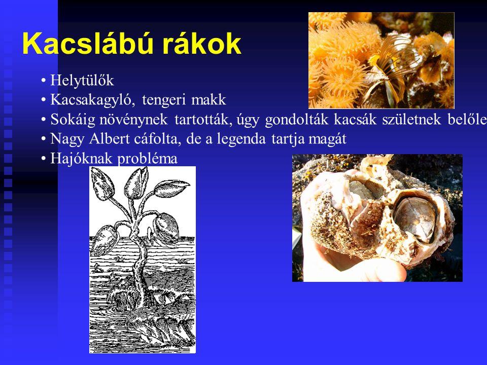 Kacslábú rákok Helytülők Kacsakagyló, tengeri makk Sokáig növénynek tartották, úgy gondolták kacsák születnek belőle Nagy Albert cáfolta, de a legenda