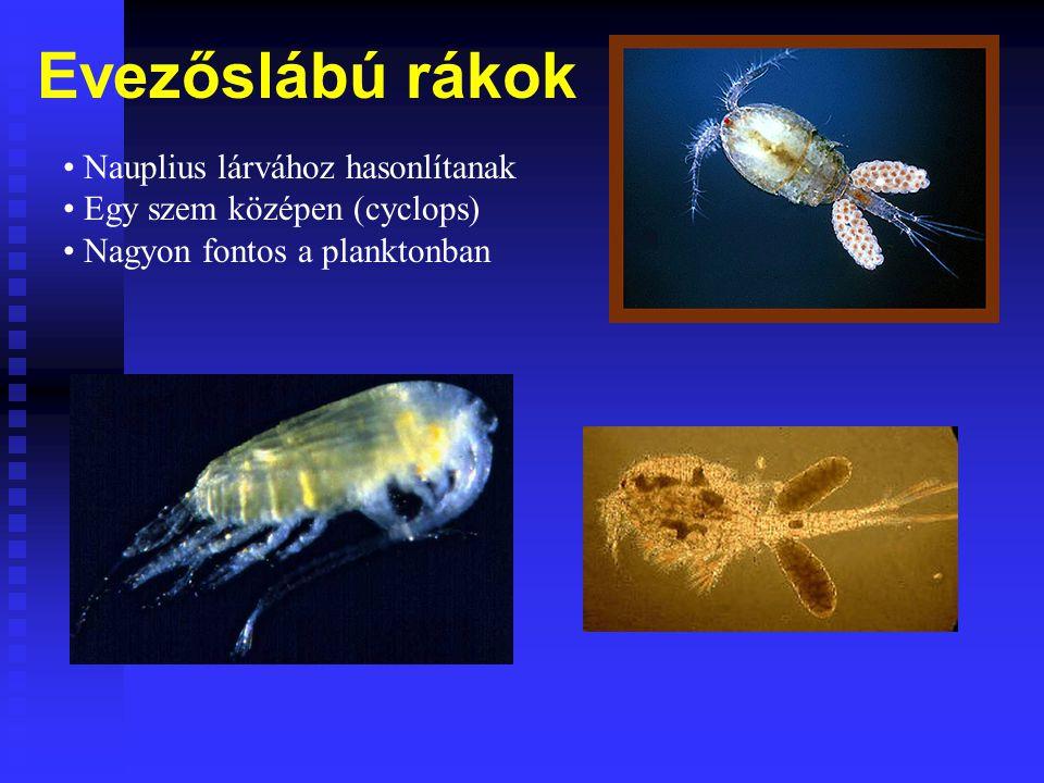 Evezőslábú rákok Nauplius lárvához hasonlítanak Egy szem középen (cyclops) Nagyon fontos a planktonban