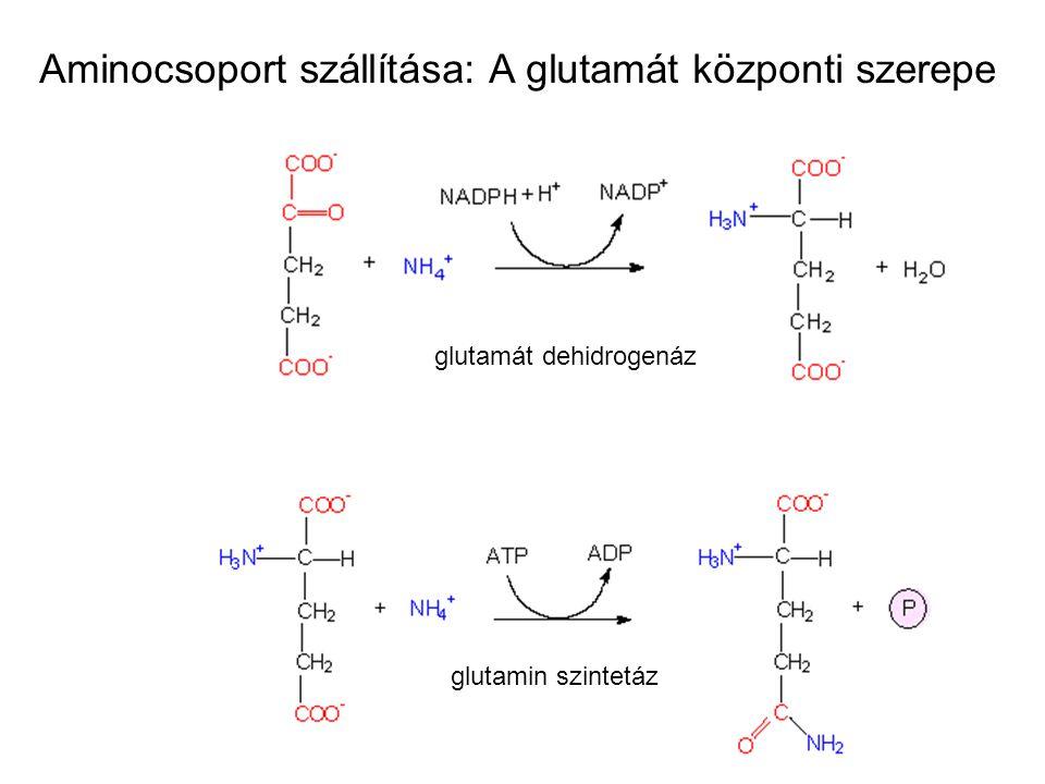 glutamát dehidrogenáz glutamin szintetáz Aminocsoport szállítása: A glutamát központi szerepe