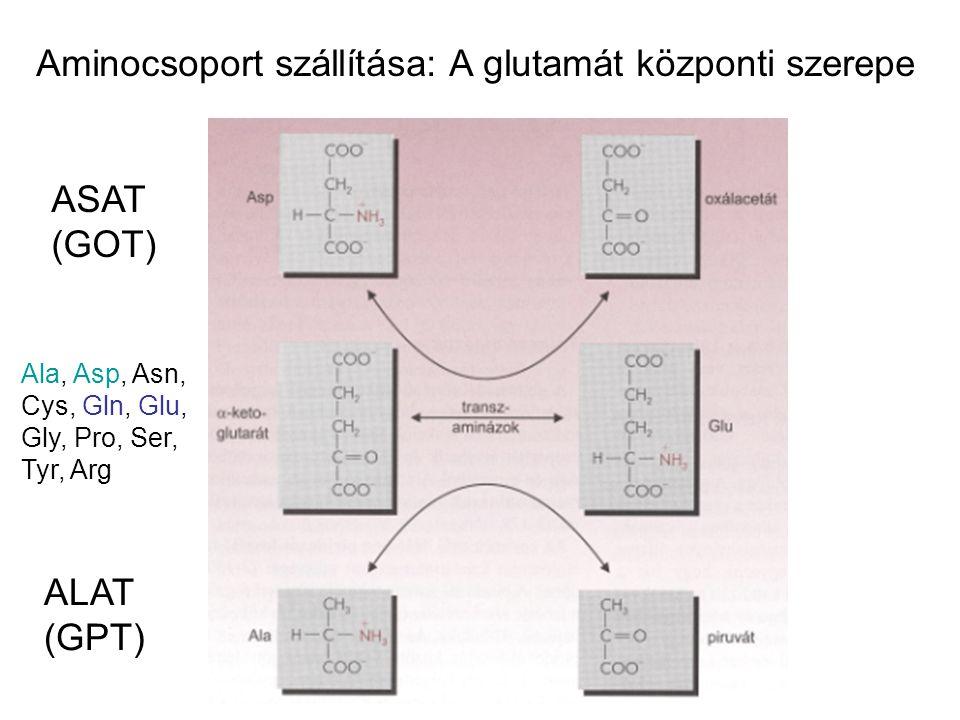 ASAT (GOT) ALAT (GPT) Ala, Asp, Asn, Cys, Gln, Glu, Gly, Pro, Ser, Tyr, Arg Aminocsoport szállítása: A glutamát központi szerepe