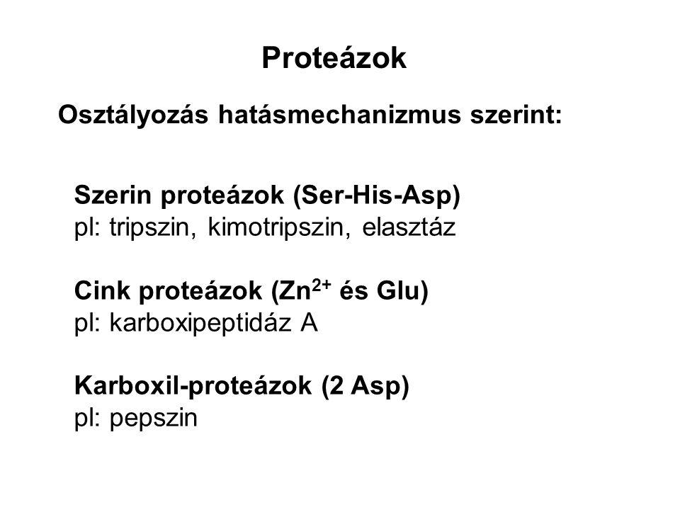 Proteázok Szerin proteázok (Ser-His-Asp) pl: tripszin, kimotripszin, elasztáz Cink proteázok (Zn 2+ és Glu) pl: karboxipeptidáz A Karboxil-proteázok (