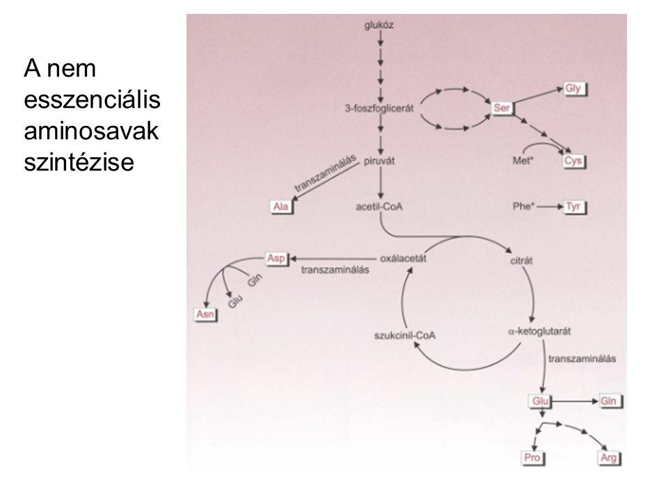A nem esszenciális aminosavak szintézise