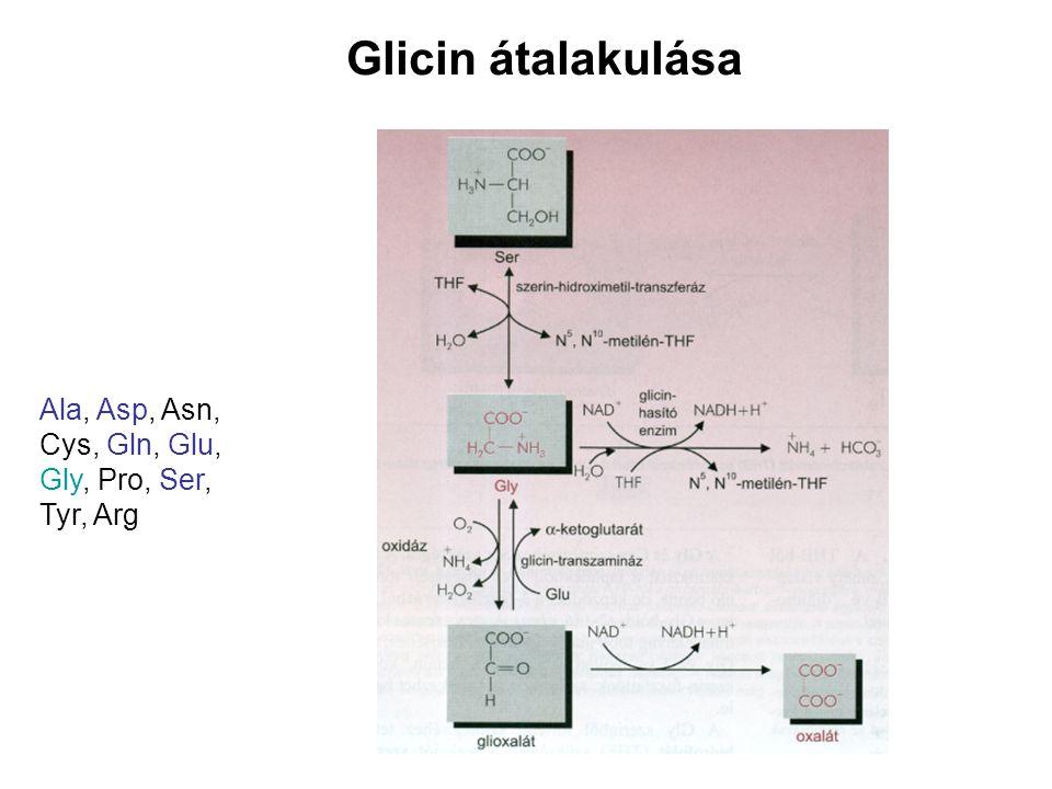 Glicin átalakulása Ala, Asp, Asn, Cys, Gln, Glu, Gly, Pro, Ser, Tyr, Arg