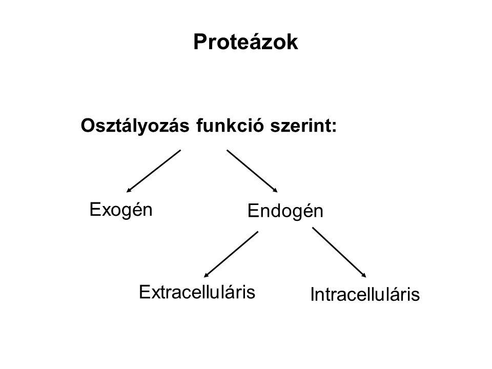 Exogén proteázok Pepszin: Karboxil proteáz Aromás és savanyú aminosav (-) mellett Gyomor fősejtjei termelik (gasztrin) Savanyú közegben (pH: 1-2) aktív Pepszinogén (40 kDa), önemésztődés Gyomor fedősejtjei HCl-t termelnek