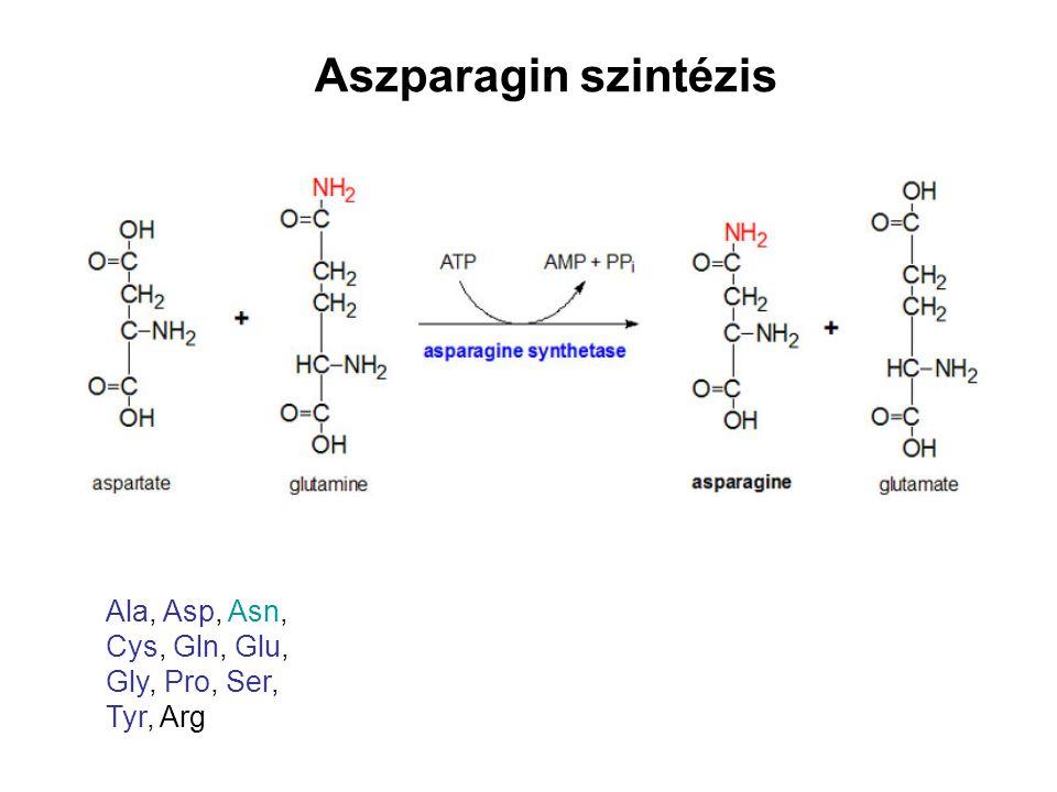 Aszparagin szintézis Ala, Asp, Asn, Cys, Gln, Glu, Gly, Pro, Ser, Tyr, Arg