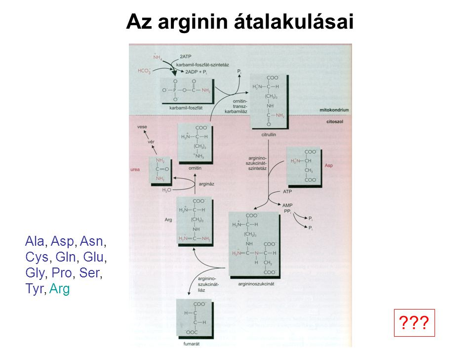 Az arginin átalakulásai Ala, Asp, Asn, Cys, Gln, Glu, Gly, Pro, Ser, Tyr, Arg ???