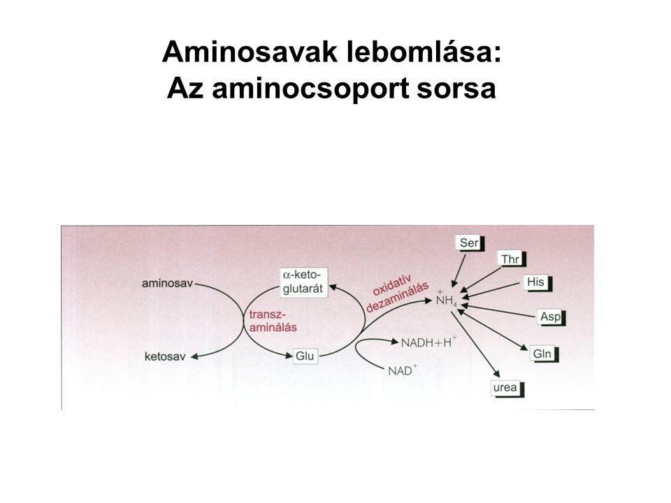 Aminosavak lebomlása: Az aminocsoport sorsa