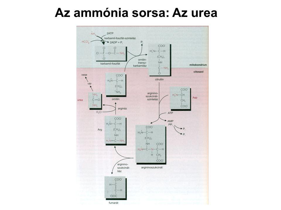 Az ammónia sorsa: Az urea