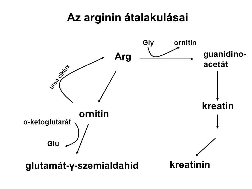 Az arginin átalakulásai Arg ornitin urea ciklus glutamát-γ-szemialdahid α-ketoglutarát Glu guanidino- acetát Glyornitin kreatin kreatinin