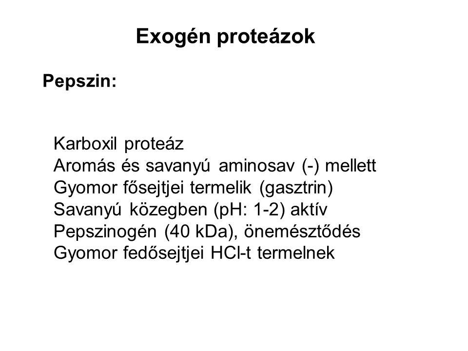 Exogén proteázok Tripszin: Pankreász termeli (tripszinogén, kolecisztokinin) Limitált proteolízis (enteropeptidáz) Bázikus (+) aminosavak C terminálisán hasít (Lys, Arg) Más proenzimeket hasít, aktivál (kimotripszinogén, proelasztáz, prokarboxipeptidáz-A) Tripszin inhibítor, α1 antitripszin (elasztáz gátlás, Met 358 szulfoxiddá oxidálódhat)