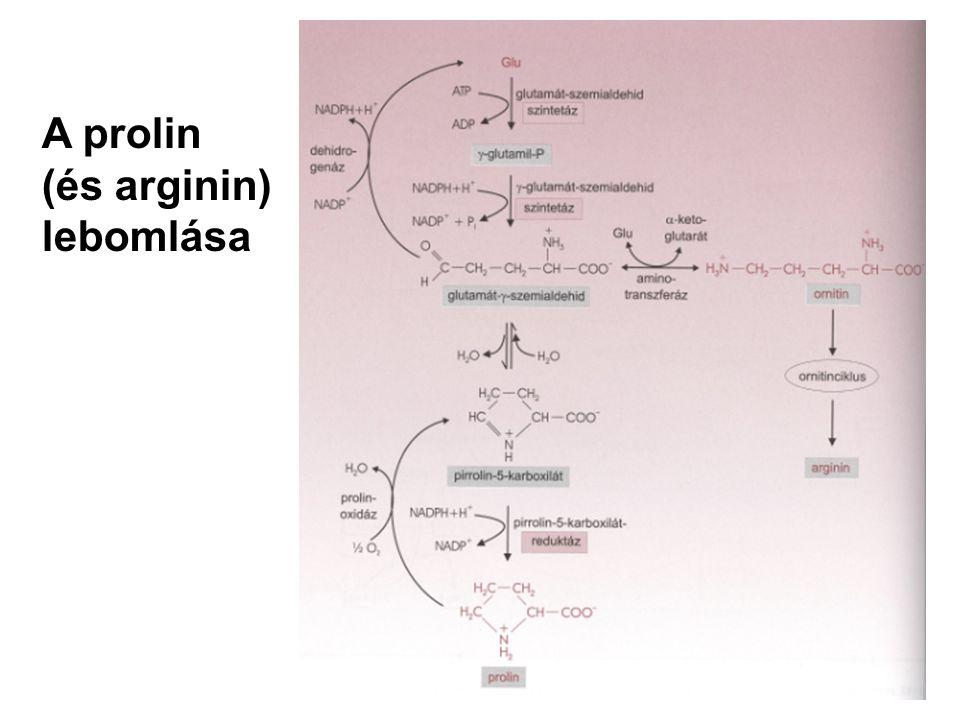 A prolin (és arginin) lebomlása