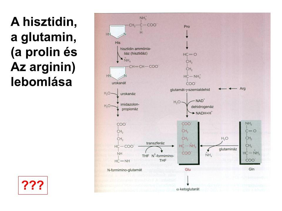 A hisztidin, a glutamin, (a prolin és Az arginin) lebomlása ???