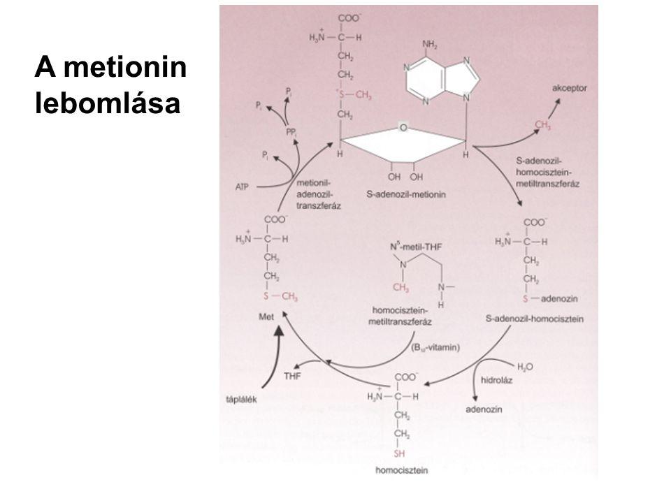 A metionin lebomlása