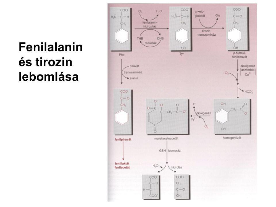 Fenilalanin és tirozin lebomlása