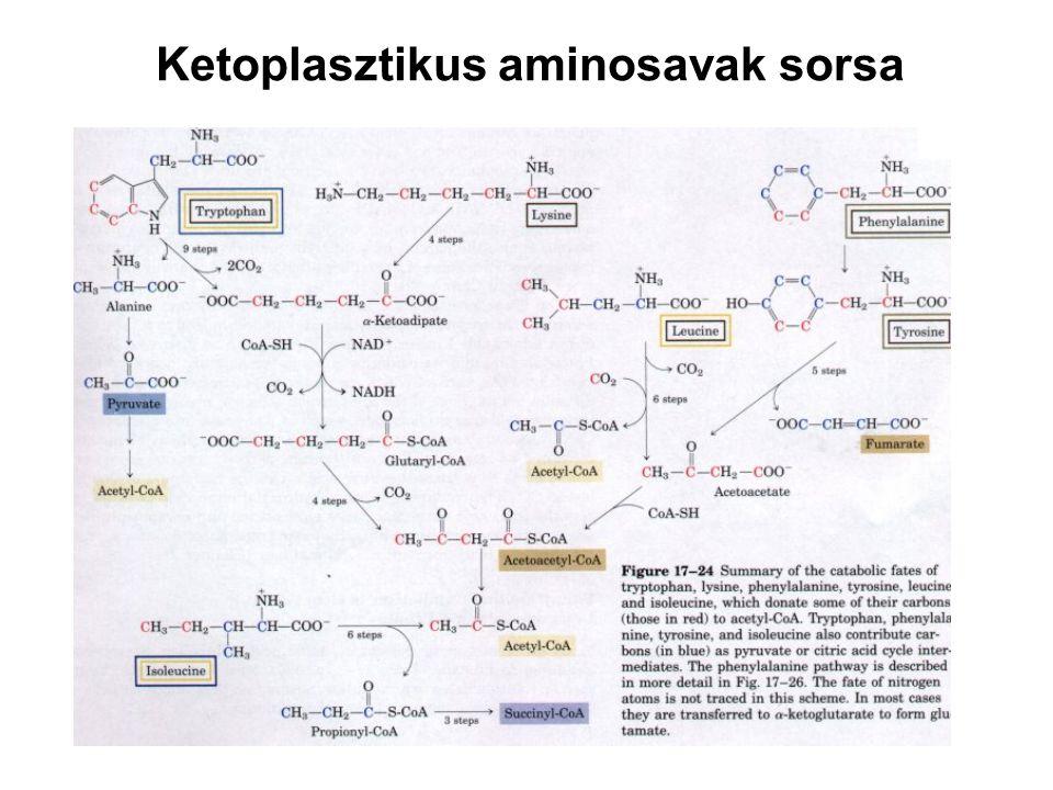 Ketoplasztikus aminosavak sorsa