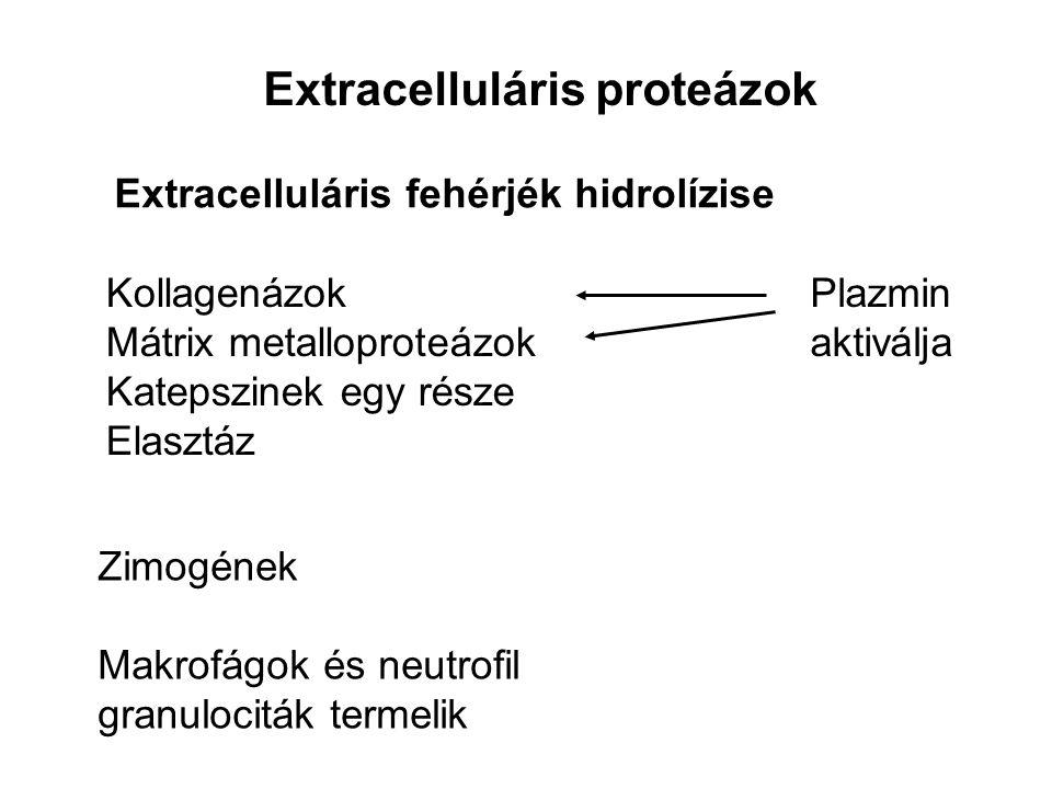Extracelluláris proteázok Extracelluláris fehérjék hidrolízise Kollagenázok Mátrix metalloproteázok Katepszinek egy része Elasztáz Zimogének Makrofágo