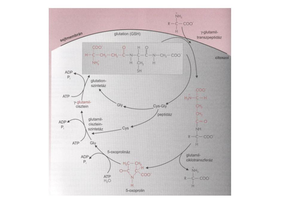 A tirozin szintézise Ala, Asp, Asn, Cys, Gln, Glu, Gly, Pro, Ser, Tyr, Arg