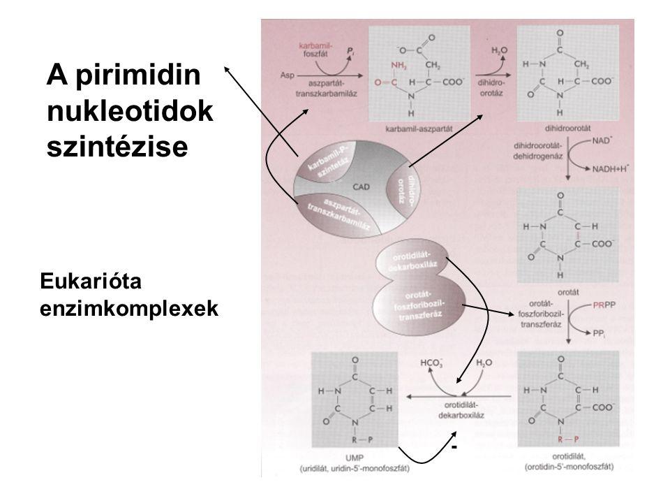 A pirimidin nukleotidok szintézise Eukarióta enzimkomplexek -
