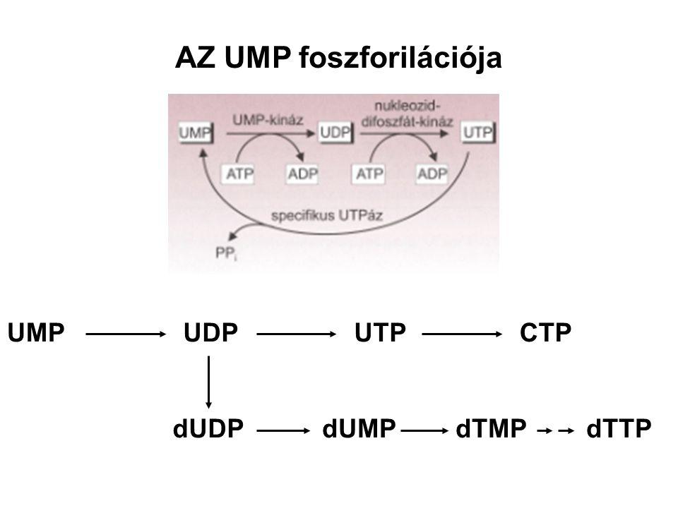 AZ UMP foszforilációja UMPUDP dUDPdUMP UTPCTP dTMP dTTP