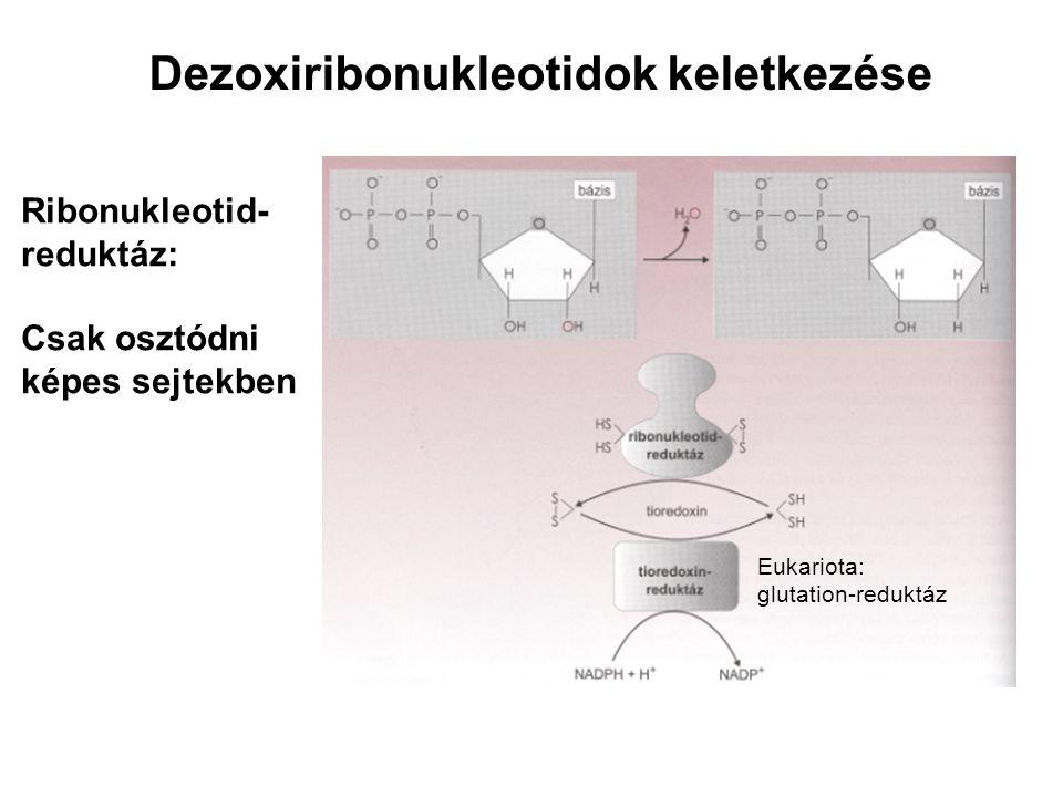 Dezoxiribonukleotidok keletkezése Ribonukleotid- reduktáz: Csak osztódni képes sejtekben Eukariota: glutation-reduktáz