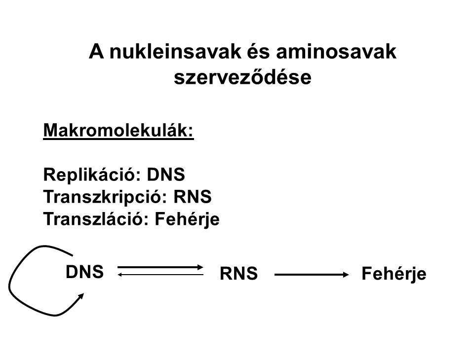 A nukleinsavak és aminosavak szerveződése Makromolekulák: Replikáció: DNS Transzkripció: RNS Transzláció: Fehérje DNS RNSFehérje
