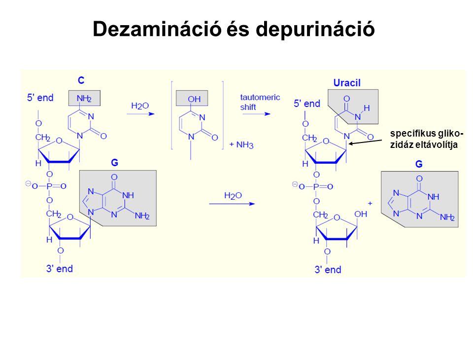 Dezamináció és depurináció specifikus gliko- zidáz eltávolítja