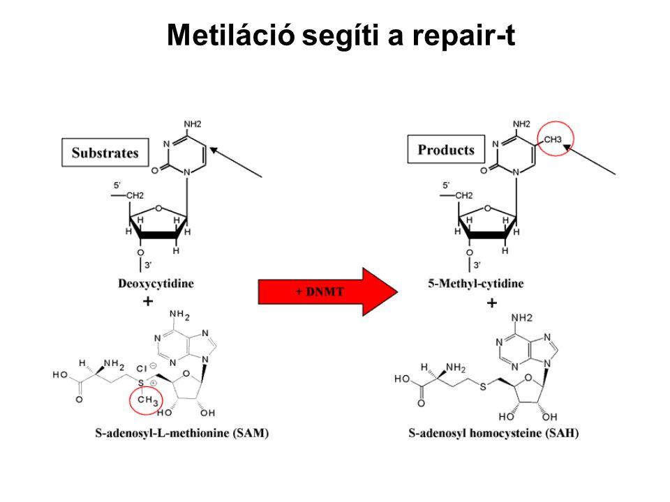 Metiláció segíti a repair-t