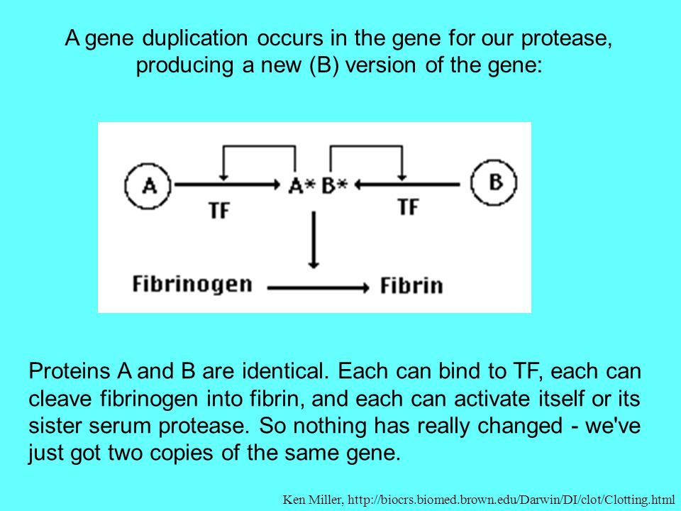 A gene duplication occurs in the gene for our protease, producing a new (B) version of the gene: Proteins A and B are identical. Each can bind to TF,